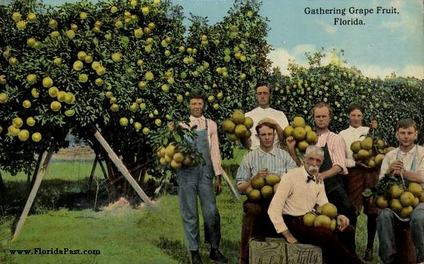 Many Family Owned Groves in FloridaPast - Where the entire family would help with the harvesting