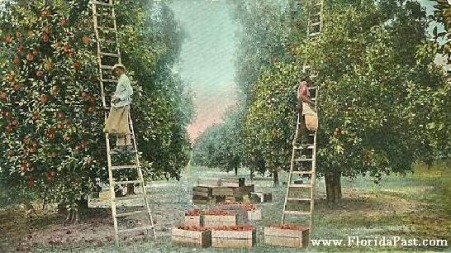 Anywhere in FloridaPast, one would see Pickers like this, throughout the Orange & Grapefruit Groves