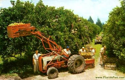 The Hard workers harvesting Florida Citrus for market. Your Breakfast table....