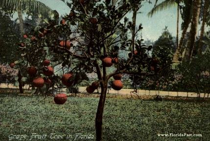 Before the Great Freeze of FloridaPast, Citrus Trees were a Common Find, Everywhere